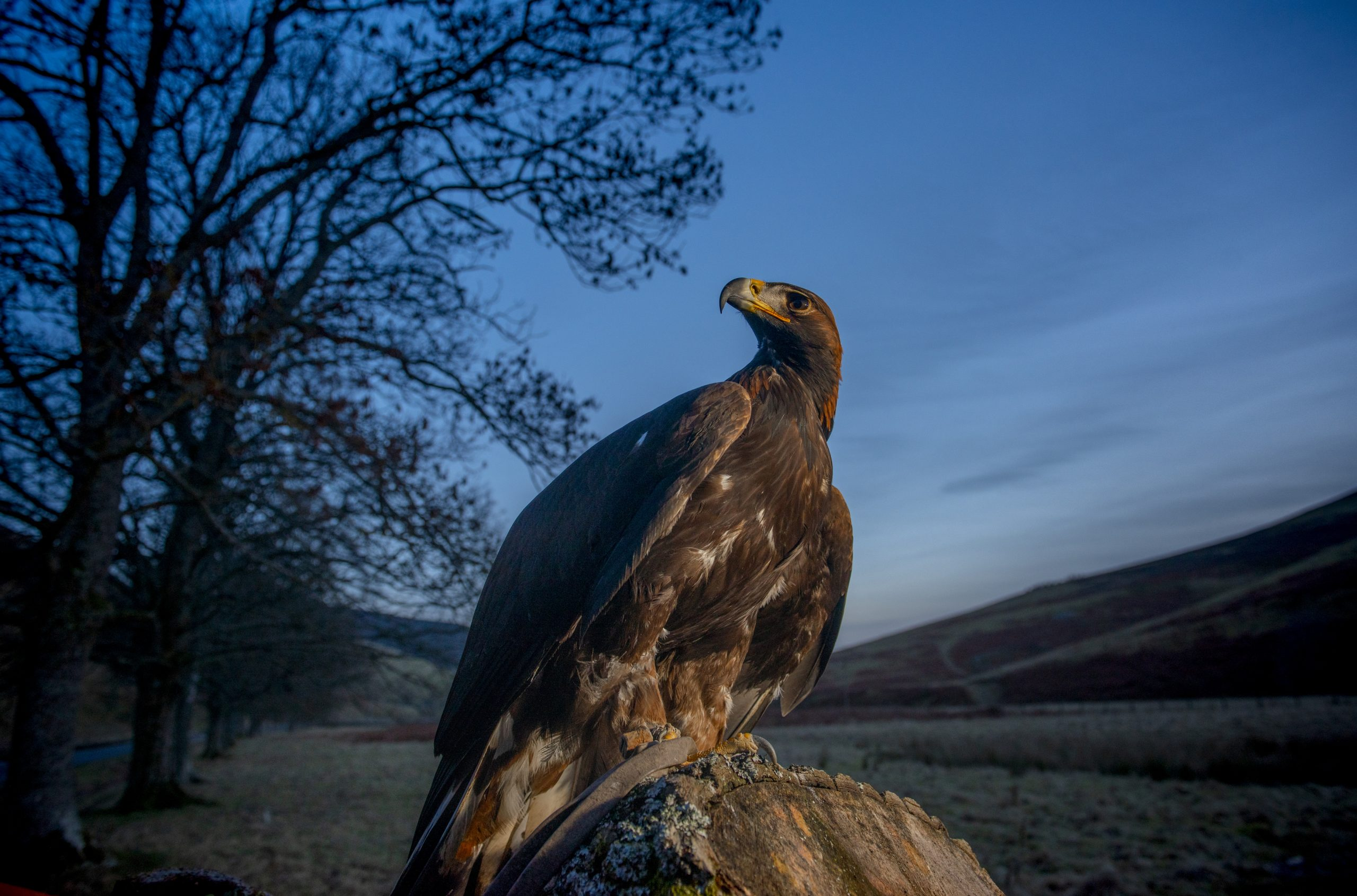 South of Scotland Golden Eagle Project