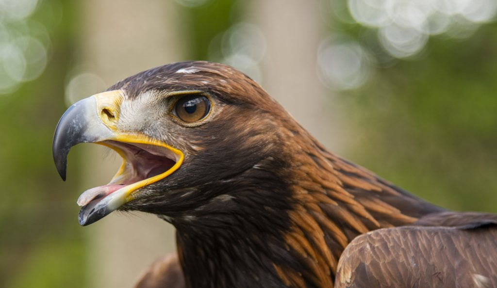 South of Scotland Golden Eagles Project